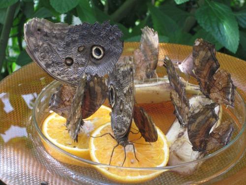 Butterflies Feeding, Mainau