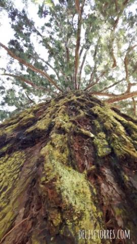 Redwood Tree in Mainau